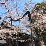 Cherry blossoms at Nogakudo in Yasukuni shrine