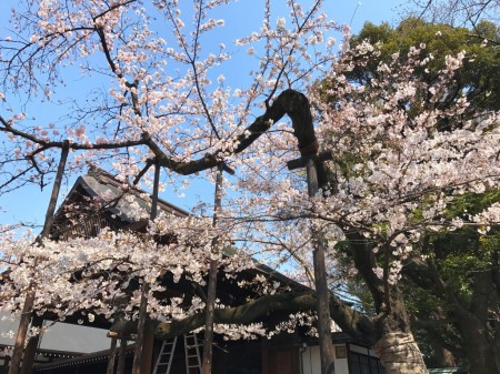 Cherry blossoms at Nogakudo in Yasukuni shrine