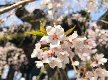 Cherry blossoms at Zojoji temple in Tokyo