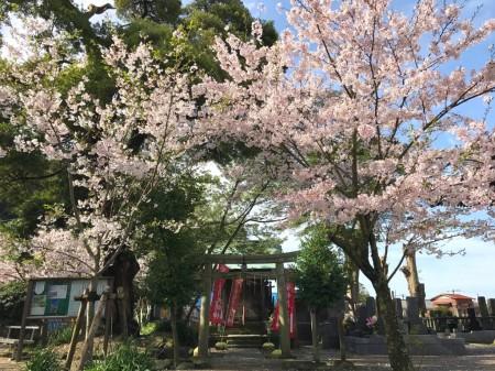 Cherry blossoms at Hanei Inari Daimyojin at Komyoji temple in Kamakura