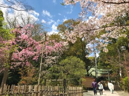 Cherry blossoms in Hotoku Ninomiya Shrine
