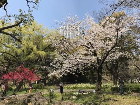 Cherry blossoms at Shiba koen park in Tokyo