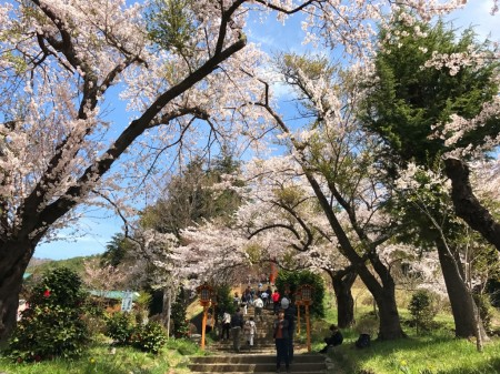 Cherry blossoms at Arakurayama Sengen Park