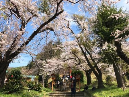 Cherry blossoms at Arakurayama Sengen Park