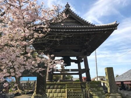 Shoro(belfry) and cherry blossoms at Komyoji temple in Kamakura