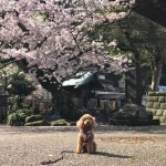Toy poodle and cherry blossoms at Komyoji temple in Kamakura