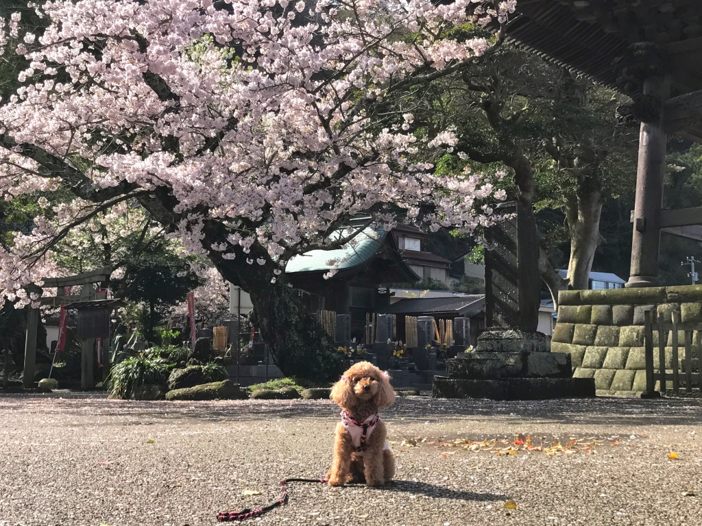 Cherry blossoms & cute animals in Kamakura