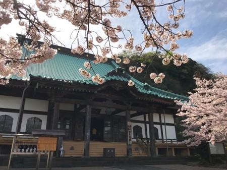 Daido(main temple) and cherry blossoms at Komyoji temple in Kamakura