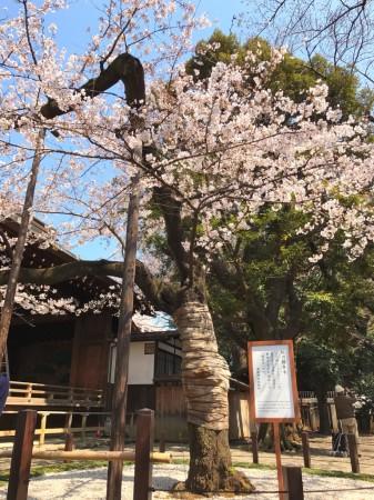 Sample tree in Yasukuni shrine