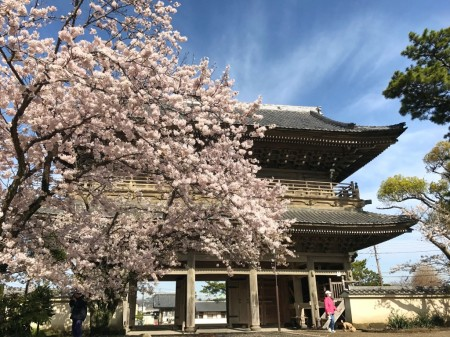 Sanmon gate and cherry blossoms at Komyoji temple in Kamakura