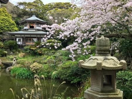 Pond and cherry blossoms at Kinushi garden of Komyoji temple in Kamakura