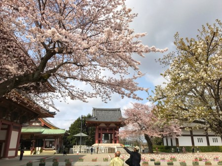 cherry blossoms of Ikegami Honmonji temple