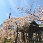 Cherry blossoms and Daibonsho with Tokyo tower in Zojoji temple