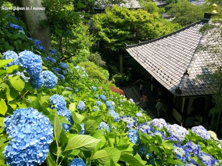 Kyozo and hydrangea at Hase Temple in Kamakura