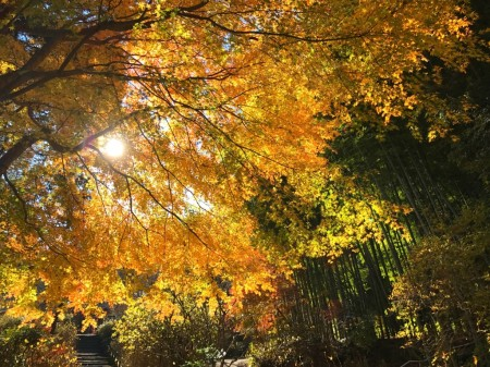 Autumn leaves at Meigetsuin in Kamakura