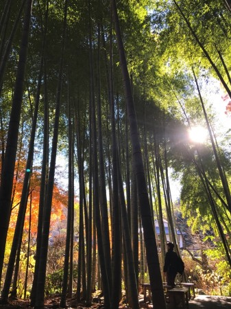 Autumn leaves and bamboo garden at Meigetsuin in Kamakura