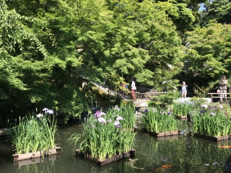 Iris pond at Hase Temple in Kamakura