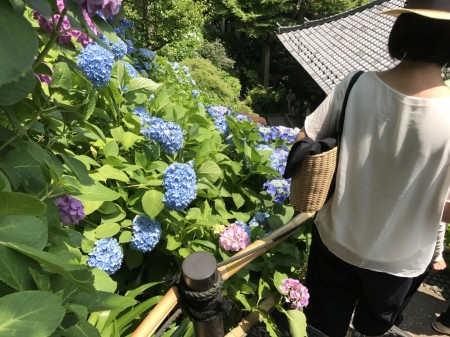 Hydrangea path at Hase Temple in Kamakura