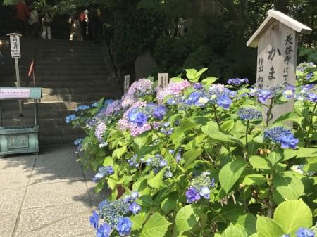 Hydrangea at Hase Temple in Kamakura