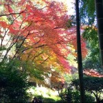 Autumn leaves at houkokuji temple in kamakura