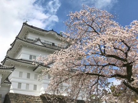 Castle tower and cherry blossoms in Odawara castle