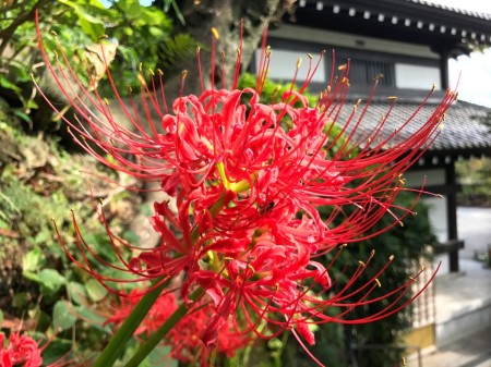 spider lily in Hase Temple