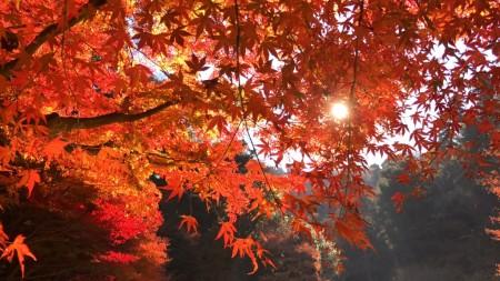 Autumn leaves at inner garden in Meigetsuin in Kamakura