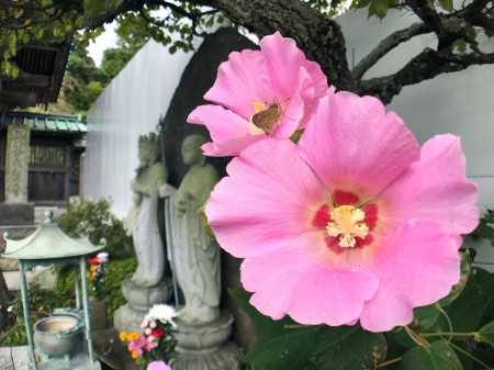 Pink cotton rose in Hase Temple
