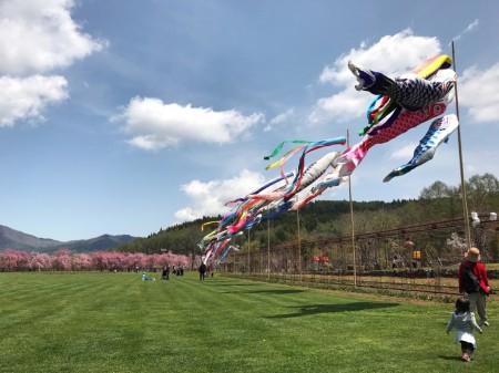Carp streamers and cherry blossoms Hanano at Miyako Koen park