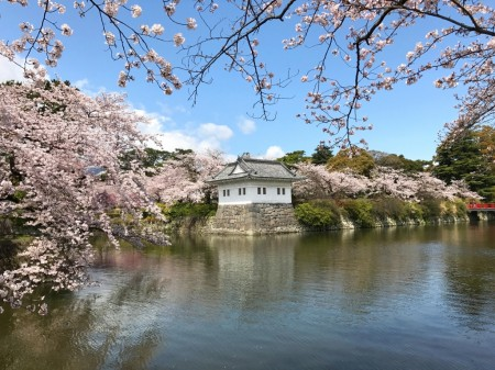 Cherry blossoms at the moat of Odawara castle