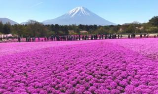 Fuji Shibazakura - thumb