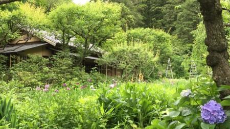 Iris garden at Tokeiji temple in Kamakura