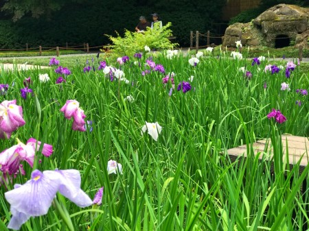 Iris field at Meigetsuin in Kamakura