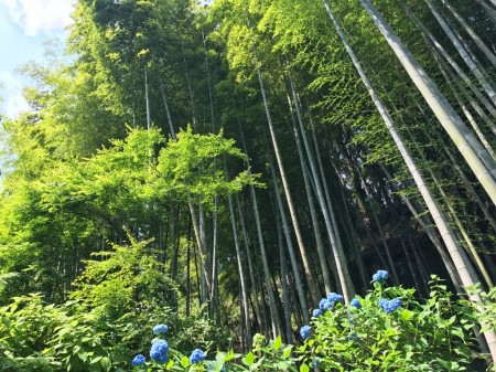 hydrangea and bamboo forest at Meigetsuin in Kamakura