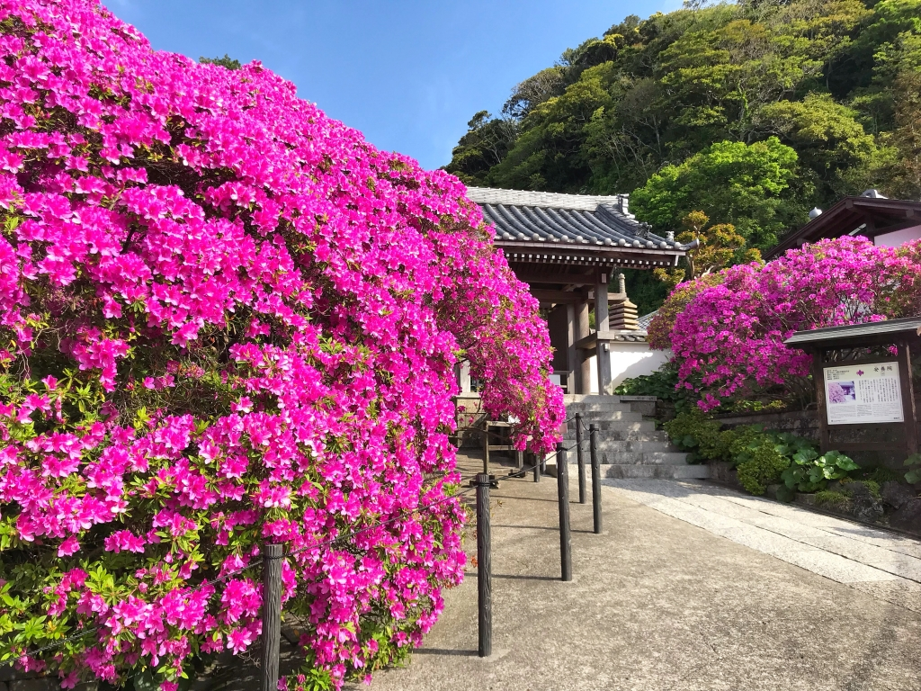 Big azalea at Anyoin temple in Kamakura