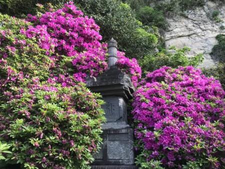 Azalea at Anyoin temple in Kamakura