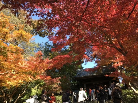 Autumn leaves at Somon gate in Engakuji temple in Kamakura