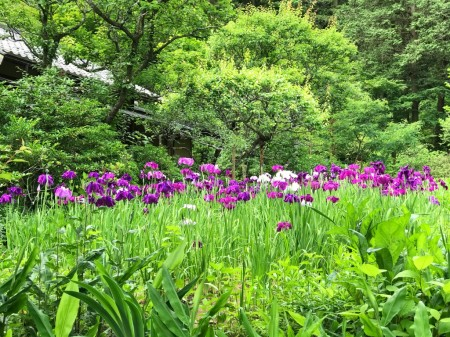 Iris garden at Tokeiji temple in Kamakura