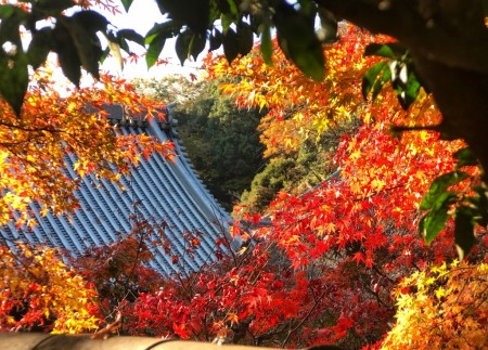 Autumn leaves of Butsunichi-an in Engakuji temple in Kamakura