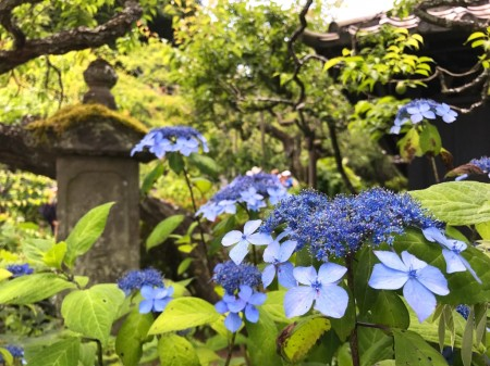 Hydrangea at Tokeiji temple in Kamakura
