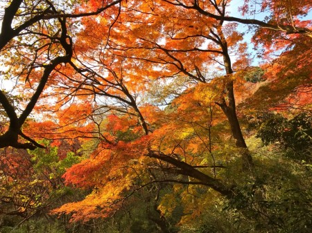 Autumn leaves at Tenen Hiking Course in Kamakura