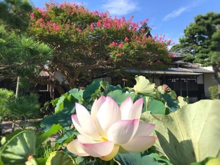 crape myrtle and lotus flower at Honagakuji temple in Kamakura