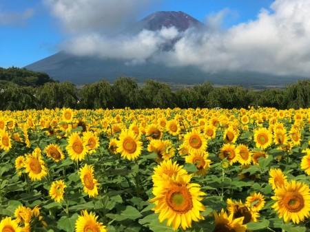 Mt.Fuji and sunflowers near the 2nd gate of Hanano Miyako Koen park