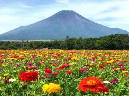 Mt.Fuji and zinnia at Hanano Miyako Koen park