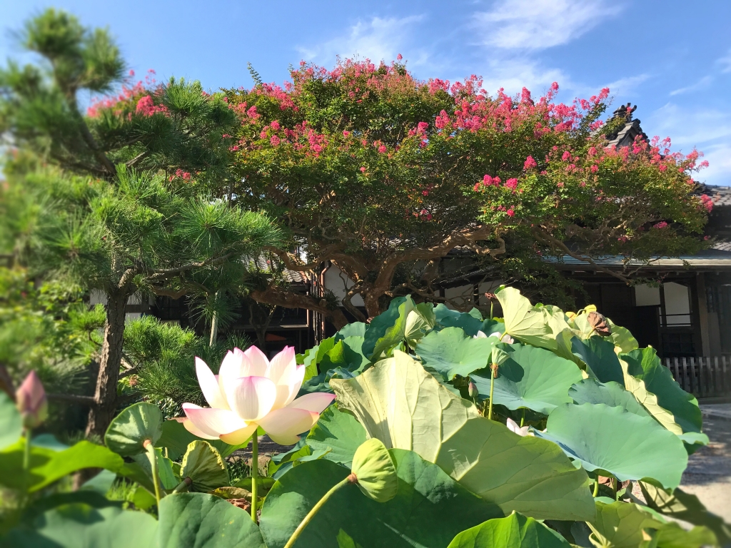Crape myrtle tree and lotus flowers at Hongakuji Temple in Kamakura