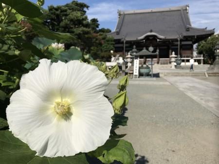 cotton rose at Honagakuji temple in Kamakura