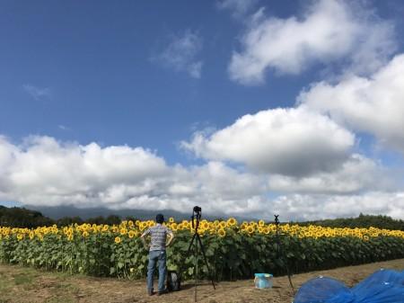 sunflowers near the 2nd gate of Hanano Miyako Koen park