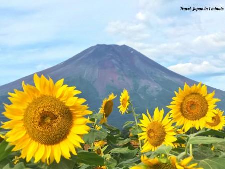 Mt.Fuji and sunflowers at Hanano Miyako Koen park
