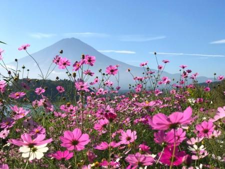 Cosmos flowers and Mount Fuji in lake Kawaguchiko