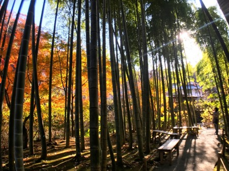 Autumn leaves and bamboo forest in Meigetsuin in Kamakura
